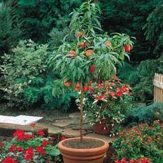 grow a dwarf peach tree in pot.