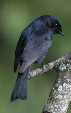 Southern Black Flycatcher (Melaenornis pammelaina) Africa