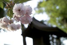【境内の様子】平成21年5月、社殿両脇にある稚児桜が満開になりました。奥は末社 八坂神社です。