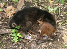 Red wolf pup at Jackson Zoo, a Red Wolf Species Survival Plan participant.  Photo credit theirs.