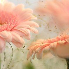 delicate gerberas (Vir my vriendinne)