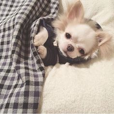 So lovely : @chihuahua.lover.00
