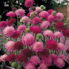 The Garden Geeks Plant of the Day  Knautia macedonica 'Melton Pastels' Perennial Zone 5-9 For more information or to find a supplier