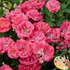 Portraits by NC ~ The beautiful Coral Drift Rose watch the video how P. Allen Smith uses them in the garden