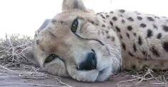 Este guepardo soñoliento mira a la cámara ahora escucha con atención cuando hace ESTO #viral