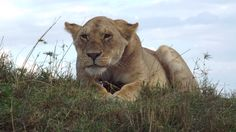 Lioness in the Masai Mara-watching the safari vehicles with boredom, wondering what all the fuss is about.