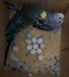 Budgies Parrot, Parakeets, Parrots, Landscape Wallpaper, Animals And Pets, Wildlife, Birds, The Incredibles, Fendi