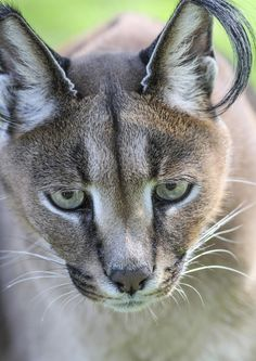 Eyes of Power - Picture taken of a beautiful African Lynx
