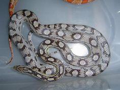 Corn Snake, Pet Snake, Vivarium, Reptiles, Arrow Keys, Close Image, Snakes, Pets, Noodles