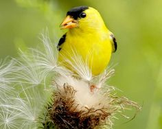 #goldfinch #spring