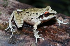 A new species of frog in the genus <em>Pristimantis</em> discovered near Camp 3.