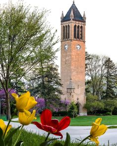 Another shot of the tulips but this one is more of a remake of a similar shot I did last year! This shot includes ISU's colors in tulips though!!! Only a week and a half before graduation and I can't wait! #graduation #iowa #isu #tulips #spring #summer