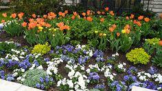 Tulip care in march