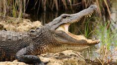 Descubra a fauna e a flora dos Everglades Safari Park!