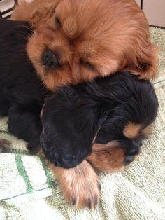 Cute Ruby and Black & Tan Cavalier King Charles Spaniel puppies snuggling #CavalierKingCharlesSpanielPuppy