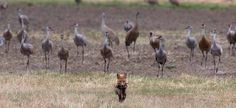 A red fox carries a bird it just caught at Creamer s Field as he trots in front of a group of sandhill cranes. Jim DeWitt photo