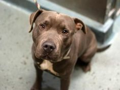 "♦ KILLED 12-12-2015 ♦ MOVED FROM TBD TO SUPER URGENT ☆ SNORK – A1055851 ☆ Gorgeous male pit bull mix, 1 year old ☆ ""Snork is ""loose and wiggly, friendly and social and, allow all handling"". Still a puppy, sweet and gentle – just watch his video > https://youtu.be/nTbXoaIEAlQ  Due to his previous bite history, he can be SUITABLE FOR AN EXPERIENCE ADOPTER ♥ PLEASE COME AND SAVE SNORK FROM BROOKLYN KILLING SHELTER ♥ http://dogarchives.urgentpodr.org/snork-a1055851/"