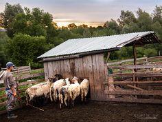 Traditional Cheese Making at Romanian Sheepfold