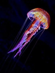 Amazing creature!!!  My favorite especially after being stung in Hawaii....