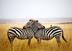 I love the interaction between these Zebras.  It's a sign of affection, the gentle chewing of the withers. The-iridescence: Rahul Matthan