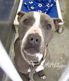 A4670071 My name is Kodiak. I am a very sweet 2 yr old spayed female gray/white pit bull mix. I came to the shelter as a stray on April 8. available 4/18/15. located in bldg 4 - no public view Baldwin Park shelter https://www.facebook.com/photo.php?fbid=952442798100891&set=a.705235432821630&type=3&theater