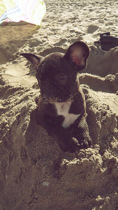 Beach Frenchie!