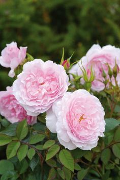 'Lady Salisbury'   David Austin English Rose