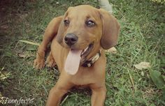Redbone Coonhound by *Funny-Fox on deviantART Unique Dog Breeds, Rare Dog Breeds, Popular Dog Breeds, Hound Puppies, Hound Dog, Redbone Coonhound, The Fox And The Hound, All Dogs, Puppy Love
