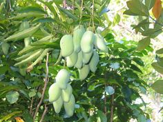 Living in the Valley of the Sun is great, especially if you are interested or into growing tropical fruit plants.