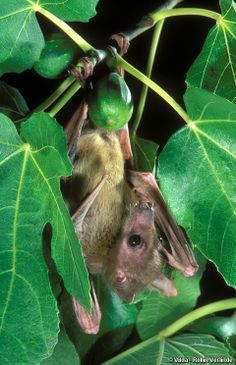 Rousettus aegyptiacus (Egyptian Fruit Bat, Egyptian Rousette, EGYPTIAN ROUSETTE)