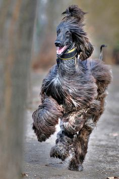 Afghan Hound Afghan Hound ♥ Loved and pinned by Noah's Ark Mobile Vet Service Hound Breeds, Hound Dog, Dog Breeds, Big Dogs, I Love Dogs, Dogs And Puppies, Photo Animaliere, Most Beautiful Dogs, Afghan Hound