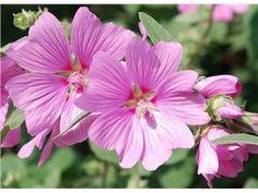Malva, rosa och vita, minst 50 frön