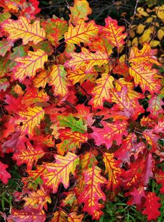Oak Leaves I by Peter Bowers Oak Leaves, Tree Leaves, Autumn Leaves, Flora Und Fauna, Autumn Scenes, Seasons Of The Year, All Nature, Fall Pictures, Arte Floral