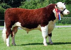 Young herford bull Tractor Farming, Show Cows, Hereford Cattle, Show Cattle, Beef Cattle, Cute Cows, Ranch Life, Down On The Farm, Friesian