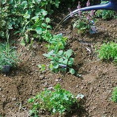 Ähnlich Wie Hochbeete, Das Gärtnern Auf Strohballen Macht Es ... Gaertnern Strohballen Vorteile Unkrautfrei