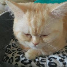 新しいベッドを買いました💗  #ナポレオン #ミヌエット #マンチカン #ペルシャ #猫 #短足猫 #短足部  #子猫 #にゃんすたぐらむ #にゃんだふるらいふ #かわいい #cat #cute #love #愛猫 #instacat #instalike #instagood #instagram