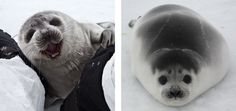 ribbon seal pups - They don't develop the striking banded black & white markings until 4 years of age & the males are black & white. The females do have the banded look but in brown & white.