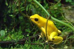 1ºlugar: Rãs venenosas. A dourada é o animal mais venenoso do mundo, vive na selva amazônica e é facil de ver. Ela tem veneno na pele suficiente para matar cerca de 50 pessoas. Os índios costumam usar o veneno dela nas pontas dos dardos que usam para caçar. Seu veneno é a batracotoxina, que é 10x mais potente que a tetratoxina do baiacu.