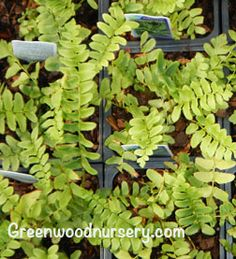 Christmas Evergreen Fern | Woodland Garden Plants $8.95