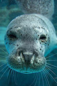 Spotted seal demonstrates how seals shut their nostrils underwater. Beautiful Creatures, Animals Beautiful, Cute Animals, Wale, Ocean Creatures, Tier Fotos, Mundo Animal, Fauna, Marine Life