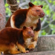 Tree kangaroos can leap to the ground from heights of up to 18 metres or even more, without injury