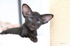 Orientalische Kurzhaar OKH günstig kaufen | Katzen - Haustier-Anzeiger