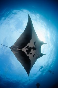 Manta Ray And Scuba Divers In Pacific Ocean, Baja, Mexico by Brandon Cole