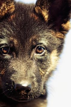 German Shepherd puppy. Love it. So cute.. this dog is beautiful.