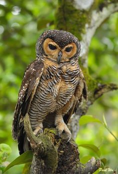 The Spotted Wood Owl (Strix seloputo)  occurs in many regions surrounding Borneo, but not on that island itself. (photo by southern wings)