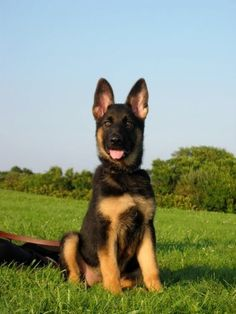 German Shepherd Puppy ohhhh they are just my favourite