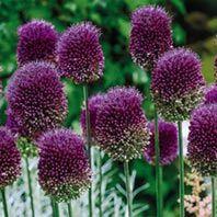Allium sphaerocephalon 100 Bulbs $17 Climbing Roses, Crocus Bulbs, Tulip Bulbs, Daffodils, Tulips, Lemon Lime Nandina, Bulbs And Seeds, American Meadows, Tulip