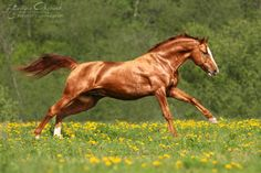A gorgeous shiny copper coat on this chestnut Don Horse - Equine Photography Katarzyna Okrzesik