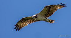 Photo Osprey by Christian Brysch on 500px
