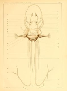 The anatomy of Nautilus pompilius, - Biodiversity Heritage Library